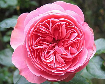 Купить розу леонардо да винчи