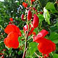 Цветок Фасоль вьющаяся Огненно-красная (5 шт.)