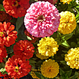 Цветок Цинния георгиноцветковая Пепито Дварф микс (0,4 гр.)