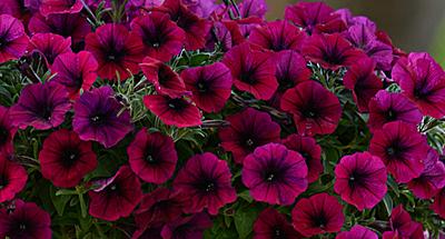 Фото цветок петуния ампельная f1 шок