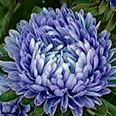 Цветок Астра Синий ковёр (низкорослая) 0,2 гр.