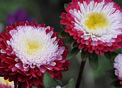 Цветок Астра Варенька (помпонная…