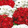 Цветок Гвоздика турецкая Аллегро (0,3 гр.)