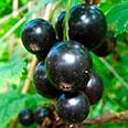 Смородина чёрная Лентяй (традиционный сорт)