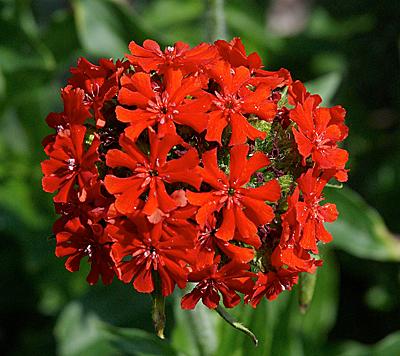 Красный многолетний цветок