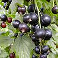 Смородина чёрная Селеченская (традиционный сорт)