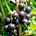 Смородина чёрная Поэзия (традиционный сорт)