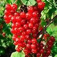 Смородина красная Асора (перспективный сорт)