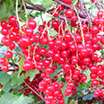 Смородина красная Дана (перспективный сорт)