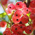 Смородина красная Роза (перспективный сорт)