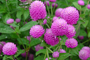 Гомфрена фото цветов
