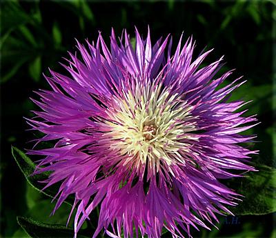 Васильки цветов многолетние