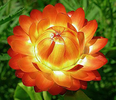 Огонёк цветы