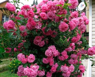 роза виолетта парфюм плетистая