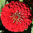Цветок Цинния Скарлет Флейм (георгиновидная) 0,5 гр.