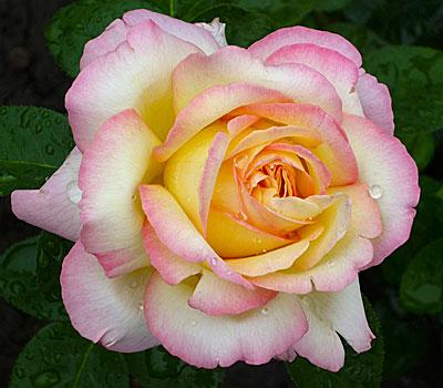 роза глория фото