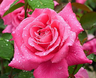 роза пинк пис фото