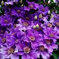 Клематис Ашва (крупноцветковый)