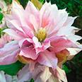 Клематис Виолет Элизабет (крупноцветковый)
