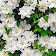 Клематис Исаго (крупноцветковый)