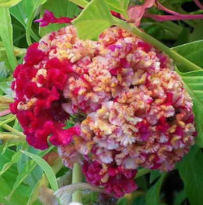 цветы целозия фото: