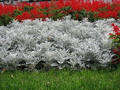 Цветок цинерария серебряная