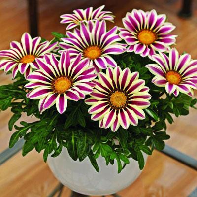 Фото цветок газания садовая звезда