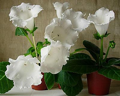 фото глоксиния белая