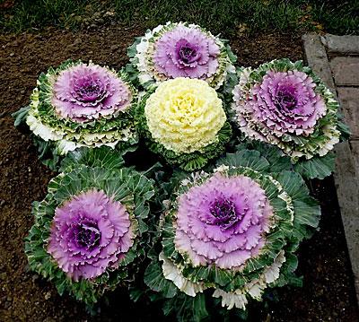 Капуста декоративная цветы