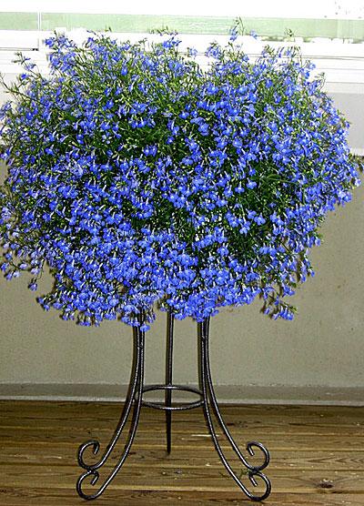 Цветок лобелия сапфир плетистая