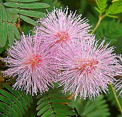 Фото цветок мимоза стыдливая