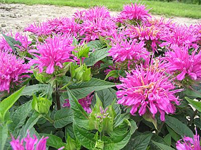 фото цветы монарда