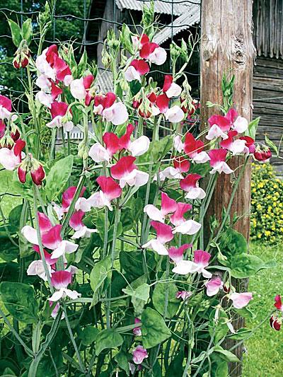 Цветок Душистый горошек Купидон, семена Интернет-магазин RUScemena.ru