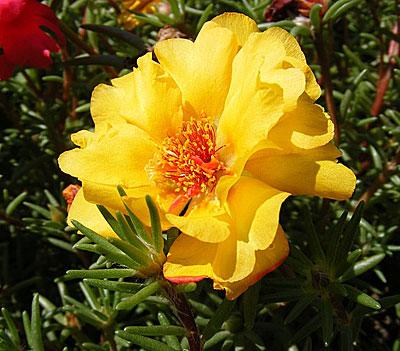 Страна золотой крупноцветковый