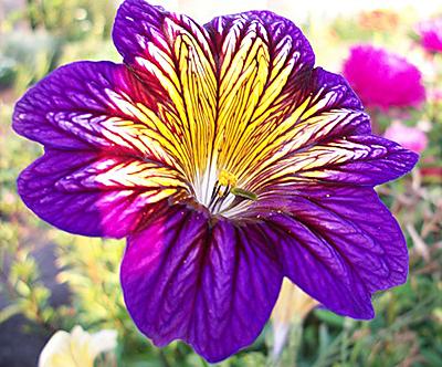 Цветок сальпиглоссис выемчатая смесь